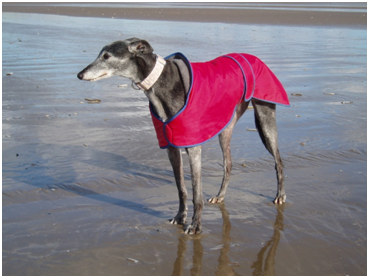 Callie - A greyhound in the care of Animal Lifeline Wales